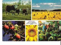 In Summer The Sun Never Seems To Set On The Rich Farmlands Of Manitoba Par Of Canada's Greatest Agricultural Region - Manitoba