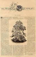 Fotoincisione ('800) CINERARIA IBRIDA, SENECIO CINERARIA (Nel Regno Di Flora, Con Testo Esplicativo) - OTTIMA - Stampe & Incisioni