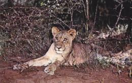 CPSM LION CLUB KRUGER NATIONAL PARK - Lions