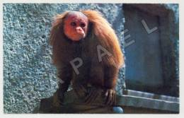 Chauve Uakari (JS) - Animals