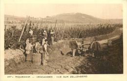 VENDANGES A RIQUEWIHR VUE SUR ZELLENBERG SCENE DE VENDANGE ET PASSAGE DE CHARRUE - Vignes