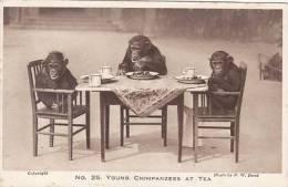 ANIMAL POSTCARD - YOUNG CHIMPS AT TEA - Monkeys
