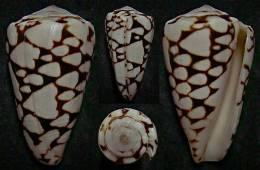 """N°4846 // CONUS MARMOREUS CROSSEANUS BATARD """"Nelle-CALEDONIE"""" // F++ : 52,2mm  . - Coquillages"""