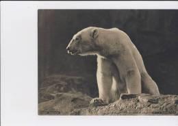 1930's Kodak Magazine Photograph - Polar Bear - Other