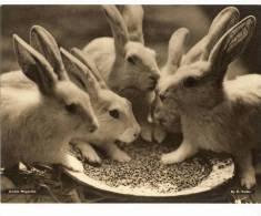 1930's Kodak Magazine Photograph - Rabbits - Other