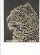 1930's Kodak Magazine Photograph - Rhodesian Leopard - Other