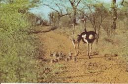 CPSM AUTRUCHE FAUNE AFRICAINE KENYA EST AFRIQUE - Birds