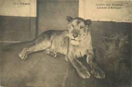 Réf : B -13-0861  : Lionne D'Afrique    Jardin Des Plantes - Lions