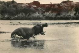 Réf : B -13-0865  : Hippopotame - Hippopotames
