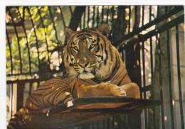 ZOO POSTCARD - TIGER AT BRISTOL ZOO - Tigers