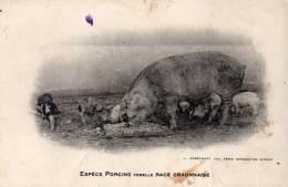 Animaux Cochons Espece Porcine Race Craonnaise - Varkens