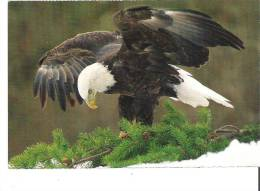 The Bald Eagle The National Symbol Of The United States - Birds