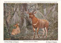 21753 Musée Royal Histoire Naturelle Belgique -N° 18 -dessin Henderyckx - Antilope Bongo Bangana