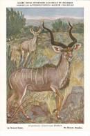 21754 Musée Royal Histoire Naturelle Belgique -N° 17 -dessin Henderyckx - Grand Kudu -strepsiceros Koedoe