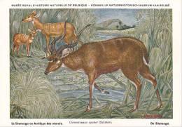 21755 Musée Royal Histoire Naturelle Belgique -N° 16 -dessin Henderyckx - Limnotragus Spekei Situtunga Antilope Marais