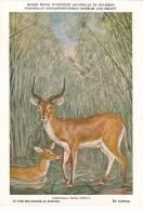 21756 Musée Royal Histoire Naturelle Belgique -N° 15 -dessin Henderyckx - Onotragus Leche Cob Marais Lechwe - Animaux & Faune