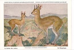 21757 Musée Royal Histoire Naturelle Belgique -N°13 -dessin Henderyckx - Oreotragus Sauteur Rochers Klipspringer - Animaux & Faune