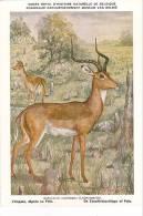 21758 Musée Royal Histoire Naturelle Belgique -N°14 -dessin Henderyckx - Aepyceros Melampus Impala Mpala Zwarthielantilo