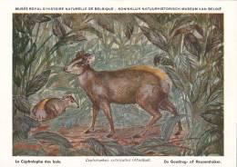 21759 Musée Royal Histoire Naturelle Belgique -N°12 -dessin Henderyckx - Cephalophus Sylvicultor Cephalophe Bois Goudrug