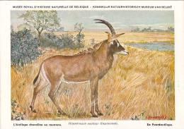 21760 Musée Royal Histoire Naturelle Belgique -N°11 Dessin Henderyckx -hippotragus Equinus Antilope Chevaline Rouanne - Animaux & Faune