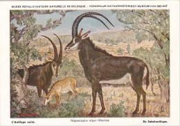 21761 Musée Royal Histoire Naturelle Belgique -N°10 Dessin Henderyckx -hippotragus Niger Antilope Noire Sabelantilope - Animaux & Faune