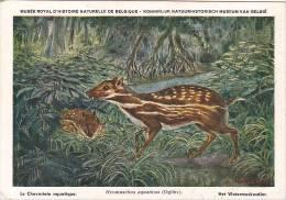 21763 Musée Royal Histoire Naturelle Belgique -N°28 Dessin Henderyckx -hymoschus Aquaticus Chevrotain Aquatique Watermus