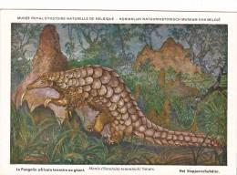 21765 Musée Royal Histoire Naturelle Belgique -N°34 Dessin Henderyckx -pangolin Terrestre Geant Manis Temmincki Smuts