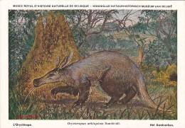 21766 Musée Royal Histoire Naturelle Belgique -N°33 Dessin Henderyckx -orycterope Orycteropus Aethiopicus Sundevall
