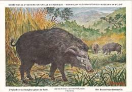 21767 Musée Royal Histoire Naturelle Belgique -N°32 Dessin Henderyckx -hylochere Sanglier Geant Foret Hylochoerus Thomas