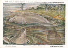 21768 Musée Royal Histoire Naturelle Belgique -N°31 Dessin Henderyckx -lamantin Africain Trichechus Senegalensis Zeekoe - Animaux & Faune