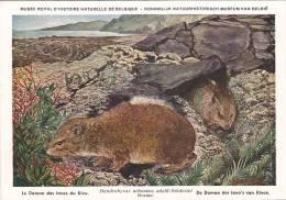 21769 Musée Royal Histoire Naturelle Belgique -N°30 Dessin Henderyckx -daman Laves Kivu Dendrohyrax Kivoe