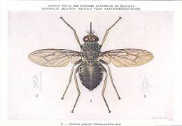 21771 Musée Royal Histoire Naturelle Belgique -N°8 Dessin De Vuyst 49- Glossina Palpalis Mouche - Insectes