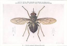 21771 Musée Royal Histoire Naturelle Belgique -N°8 Dessin De Vuyst 49- Glossina Palpalis Mouche