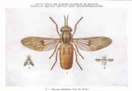 21772 Musée Royal Histoire Naturelle Belgique -N°7 Dessin De Vuyst 49- Chrysops Dimidiatus Mouche - Insectes