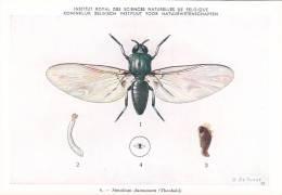 21774 Musée Royal Histoire Naturelle Belgique -N°6 Dessin De Vuyst 49- Simulium Damnosum Mouche - Insectes