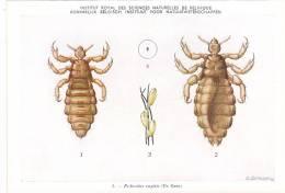 21776 Musée Royal Histoire Naturelle Belgique -N°3 Dessin De Vuyst 49- Pediculus Capitis Pou - Insectes