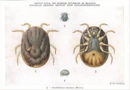 21777 Musée Royal Histoire Naturelle Belgique -N°2 Dessin De Vuyst 50- Ornithodorus Moubata -tique  ? - Insectes