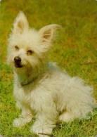 CP Chien YORKSHIRE TERRIER D´ Australie - WESTIE West Islands Dog Postcard - Hund AK - Cane Perro - 05 - Dogs