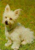 CP Chien YORKSHIRE TERRIER D´ Australie - WESTIE West Islands Dog Postcard - Hund AK - Cane Perro - 05 - Perros