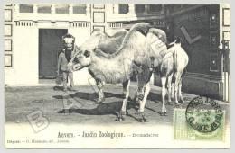 Anvers (Belgique) - Jardin Zoologique - Dromadaires (JS) - Animaux & Faune