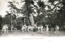 Antilope Cervicapra - India
