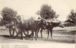 Bulls And Buffaloes - India