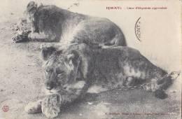 Afrique - Djibouti - Lions Lionceaux - Gibuti