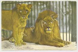 Köln (Allemagne) - Zoologischer Garten - Lion Et Lionne (JS) - Lions