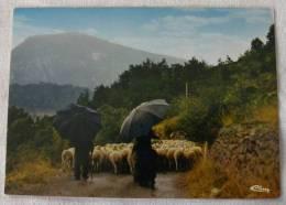 CPM - Transhumance En Haute Provence - Troupeau De Moutons Berger Parapluie Mouton - Breeding