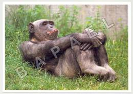 Hanovre (Allemagne) - Zoologischer Garten - Chimpanzé - Foto Christoph Becker (JS) - Monkeys