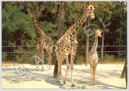 Les Mathes (17) - Zoo De La Palmyre - Girafes Et Leur Bébé Né Au Zoo (JS) - Girafes