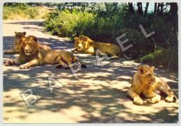 Peaugres (07) - Safari Parc - Lions (JS) - Lions