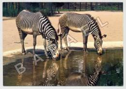 Stuttgart-Bad Cannstatt (Allemagne) - Wilhelma - Zoologische Garten - Zèbres De Grévy (JS) - Zebras