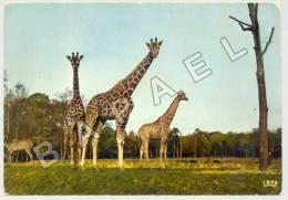 Thoiry (78) - Château De Thoiry - Girafes (JS) - Girafes